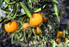 Organic Tangerines on Tree. Two Organically grown tangerines on tree with additional tangerines softly blurred in background. The tangerine (Citrus tangerina)is Stock Photos