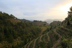 Organic tea hill Stock Image