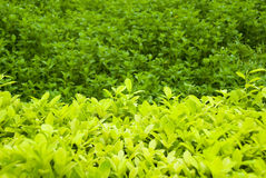 Organic Tea Leaf Field Royalty Free Stock Photography