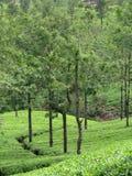 Organic  tea plantation Royalty Free Stock Photo