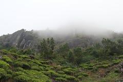 Organic Tea plantation on cloudy mountain Stock Image