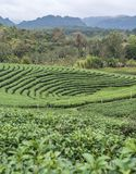 Organic tea plantation with light fog. Royalty Free Stock Images