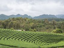 Organic tea plantation on the hill royalty free stock image