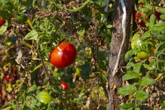 Organic tomato Stock Photography