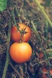 Organic tomato growth Royalty Free Stock Photography
