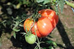 Free Organic Tomato In The Field Royalty Free Stock Photography - 109245107