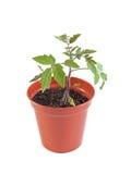 Organic tomato plant. On a white background Royalty Free Stock Image