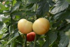 Organic tomato plant and fruit Stock Image