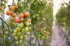 Organic Tomato Plants Growing In Greenhouse Stock Image
