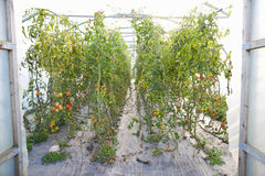 Organic Tomato Plants Growing In Greenhouse Stock Photography