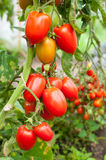 Organic tomato Royalty Free Stock Images