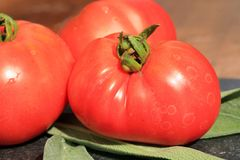 Organic tomato from rural permaculture. Royalty Free Stock Images