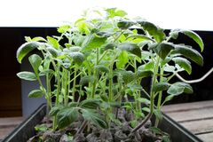 Organic Tomato Seedlings Royalty Free Stock Image