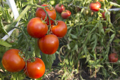Organic tomato Royalty Free Stock Photography