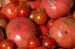 Organic Tomatoes. Bushel basket filled with freshly hand picked organic tomatoes at a local farm stock photography
