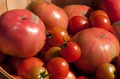 Organic Tomatoes. Bushel basket filled with freshly hand picked organic tomatoes at a local farm stock images