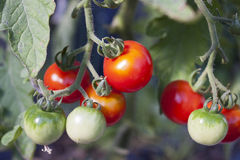 Organic tomatoes. Organic cherry tomatoes growing on the vine. Both green and red tomatoes are on the vine. Tomatoes are shiny and clean Royalty Free Stock Image