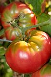 Organic Tomatoes Royalty Free Stock Photography