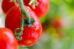 Organic tomatoes on branch Stock Images