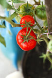 Organic tomatoes in the garden Stock Photo