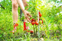 Organic tomatoes in the Garden Royalty Free Stock Photography