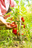 Organic tomatoes in the Garden Royalty Free Stock Image