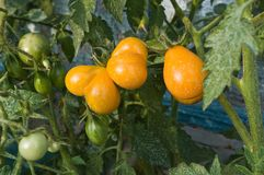 Organic tomatoes in the garden. Organic yellow heart shape Cherry tomatoes in the garden Royalty Free Stock Images