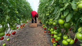 Organic tomatoes in a greenhouse stock footage