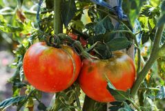 Organic tomatoes plant in the garden, bio gardening stock images