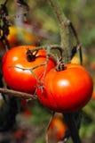 Organic tomatoes Royalty Free Stock Photos