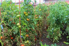 Organic tomatoes ripening in sunlight outdoors in community garden Royalty Free Stock Photo
