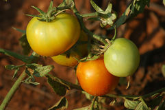 Organic tomatoes on vine growing in the garden under sunlight. Horizontal shot of different stages of growing and ripening of garden tomatoes, popular fruit for Royalty Free Stock Images
