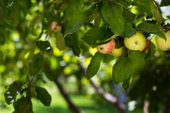 An organic tree with sweet and ripe red and green apples in the orchard. The beautiful fruit tree on the natural background. Fresh Royalty Free Stock Photos
