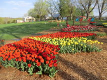 Organic Tulip festival in Virginia. Organic Tulip festival at Aroda, Virginia Royalty Free Stock Photo