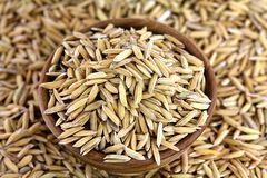 Organic unhusked rough Asian rice Royalty Free Stock Image