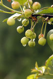 Organic unripe sour cherry Royalty Free Stock Images