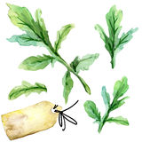 Organic vegetable arugula. watercolor illustration Stock Images