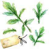 Organic vegetable arugula. watercolor illustration royalty free illustration