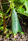 Organic vegetable cucumber hanging on a vine Stock Photography