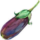 Organic vegetable eggplant. watercolor illustration Stock Image