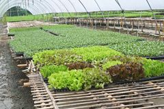 Organic vegetable farm. Close up Organic vegetable farm royalty free stock photography