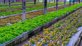 Organic vegetable farm. Salad vegetable from organic farm in Chiangmai, Thailand Stock Images