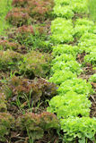 Organic vegetable farms Royalty Free Stock Images