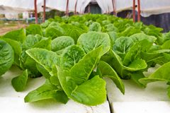 Organic vegetable farms for background. Royalty Free Stock Photography