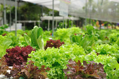 Organic vegetable farms, clean food Stock Photography