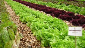 Organic vegetable field Royalty Free Stock Photos