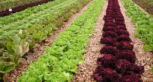Organic vegetable field. Organic vegetable  field with ready to be collected plants Royalty Free Stock Photo