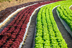 Organic Vegetable Field Royalty Free Stock Images