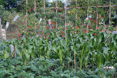 Organic vegetable garden. stock photos