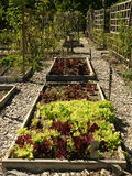 Organic vegetable garden: raised beds lettuce. Organic vegetable garden - mulched paths and raised beds with variety of lettuces Stock Images